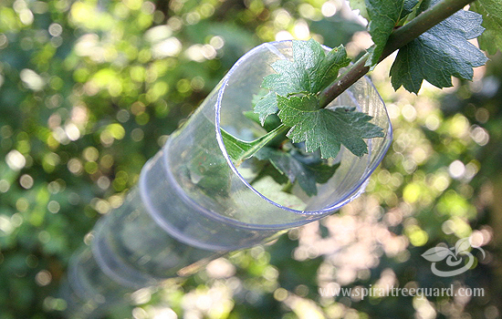 Clear Plastic Spiral Tree Guard used on Hawthorn Whips