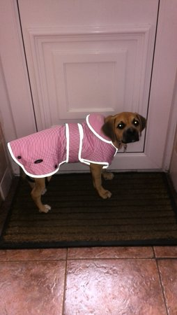 Tilly the Puggle is just 17 weeks old & already loves her new coat! 2015\\n\\n10/09/2015 15:00
