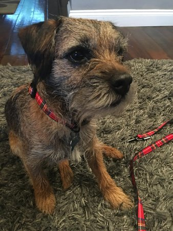Raffy the lovely Border Terrier wearing the Ancol Tartan Collar!\\n\\n29/11/2017 14:44