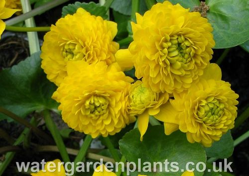 Caltha palustris var. palustris 'Plena'