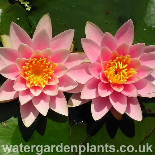 Nymphaea 'Martha'