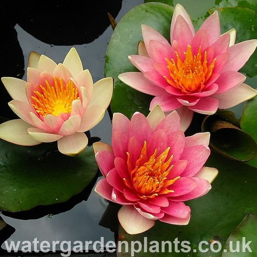 Nymphaea 'David'